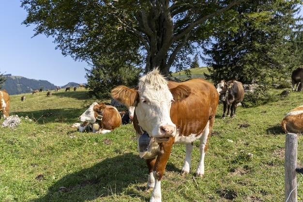 Bela vista de vacas pastando no pasto