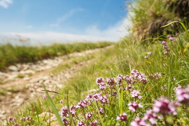 Bela vista do caminho nas montanhas dos cárpatos. concentre-se em flores.