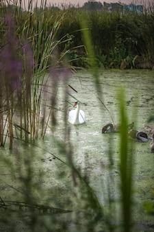 Bela vista do cisne com filhotes nadando no lago
