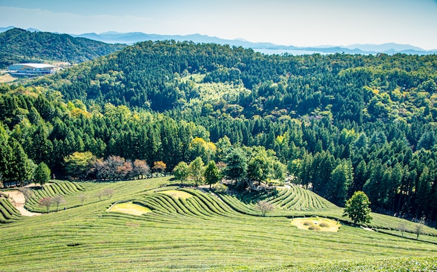 Bela vista do jardim de chá boseong, gwangju, coréia do sul