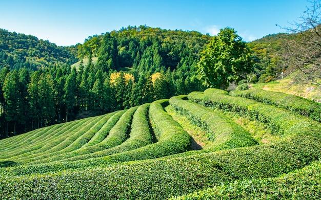 Bela vista do jardim de chá em gwangju