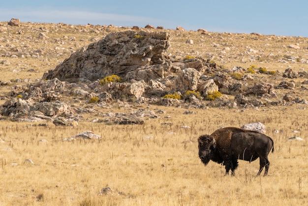 Bela vista em close de um bisão parado no meio do campo