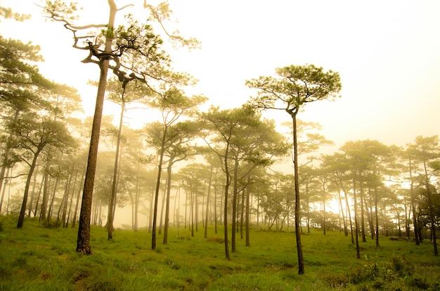 Bela vista na floresta de pinheiros com a névoa