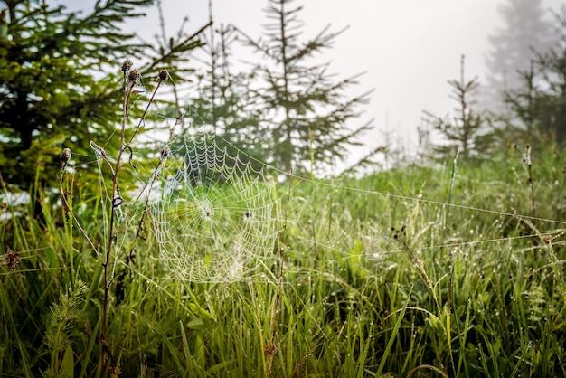 Bela vista natural de pequenos abetos de grama verde e teia de aranha entre a jovem floresta contra o fundo de neblina e o sol da manhã em uma manhã ensolarada de verão