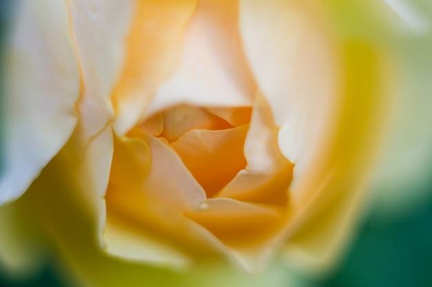 Bela yellowe rosa close-up no jardim