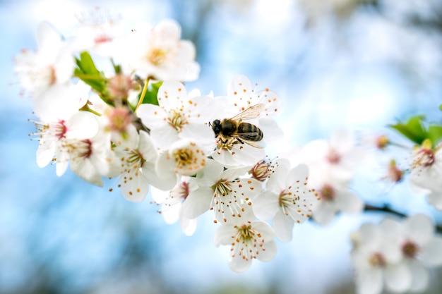 Belas ameixas floridas. fundo com flores desabrochando na primavera.