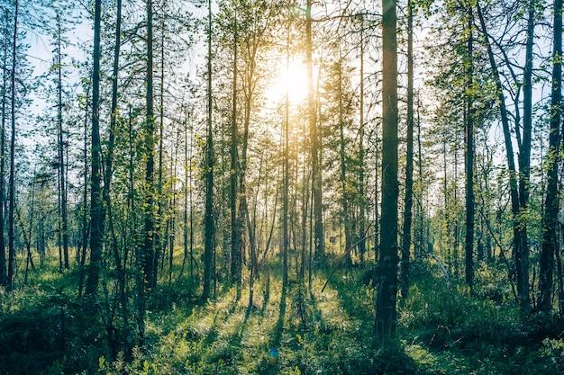 Belas árvores da floresta onífera, fundos de madeira naturais
