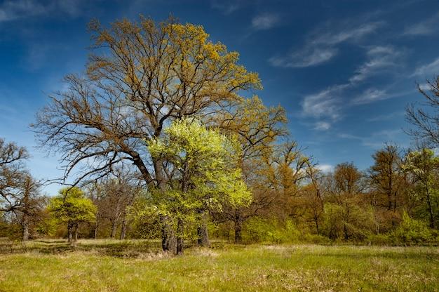Belas árvores de folha caduca altas ficar na floresta