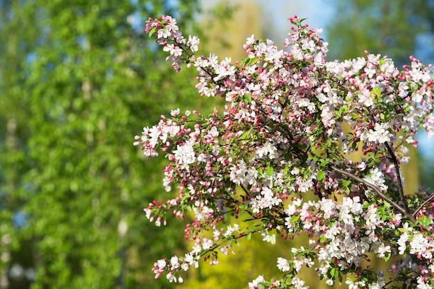 Belas árvores frutíferas de floração. florescendo ramos de plantas em dia de sol brilhante quente de primavera. flor de maçã branca e rosa que floresce sobre fundo verde natural. copie o espaço