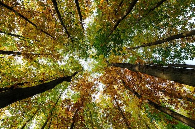 Belas copas de árvores na floresta de outono em outubro