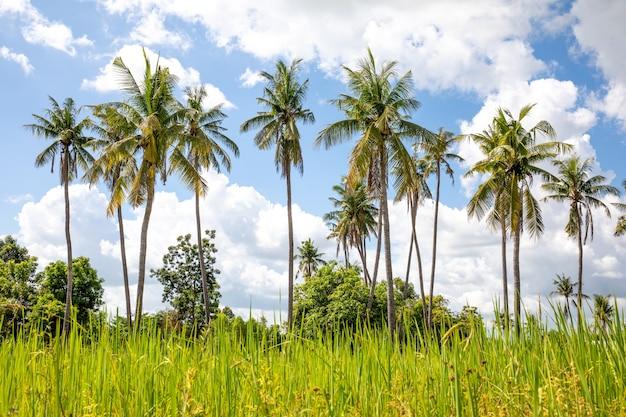 Belas coqueiros na tailândia