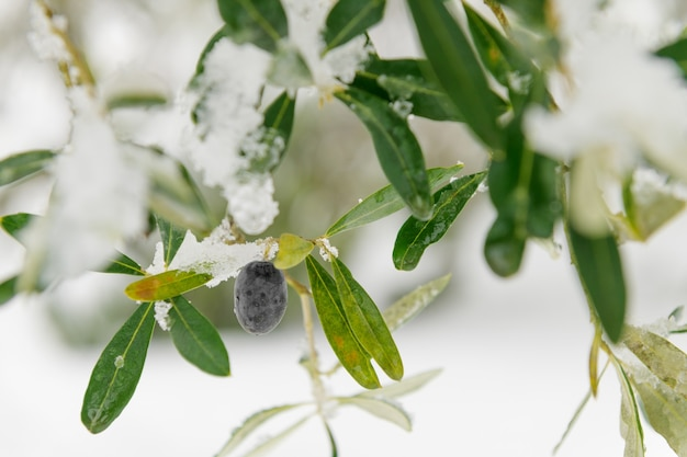 Belas oliveiras em um olival na neve, paisagem da apúlia após uma nevasca, incomum