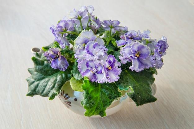 Belas plantas de interior. violetas floresciam no parapeito da janela de casa.