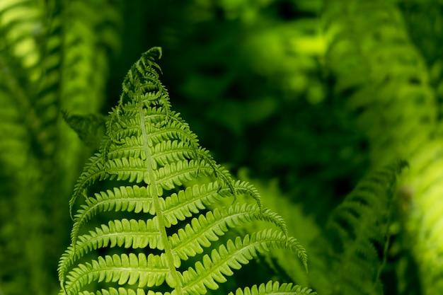 Belas samambaias folhas folhagem verde fundo de samambaia floral natural