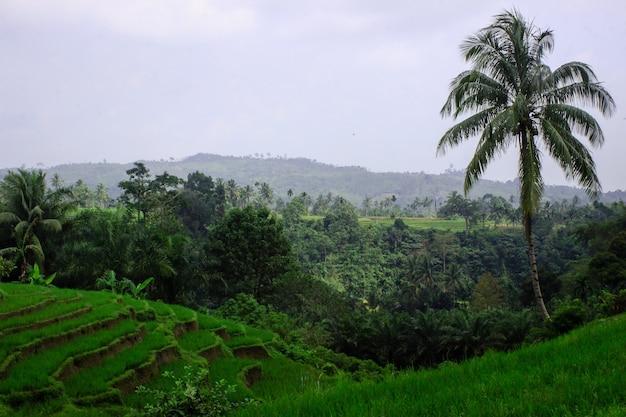 Belas vistas dos campos de arroz durante o dia em north bengkulu, indonésia