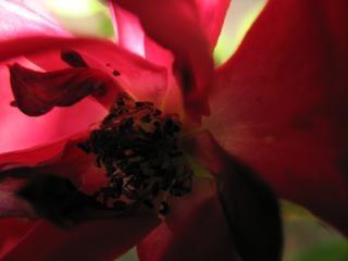 Beleza da natureza simplista, rosa, planta