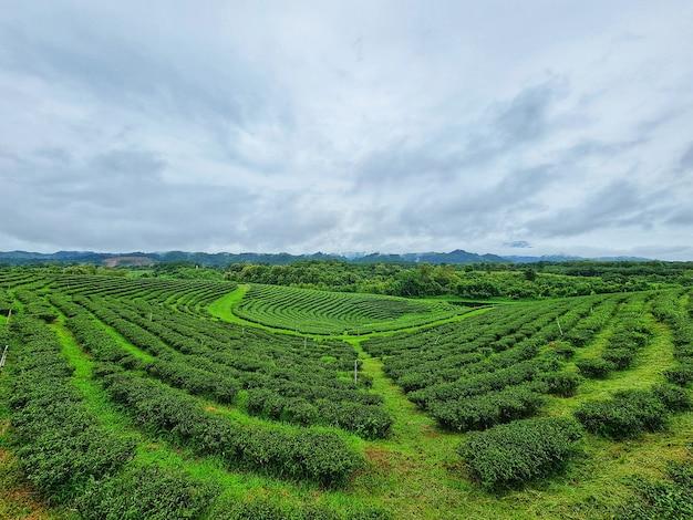 Beleza da plantação de chá