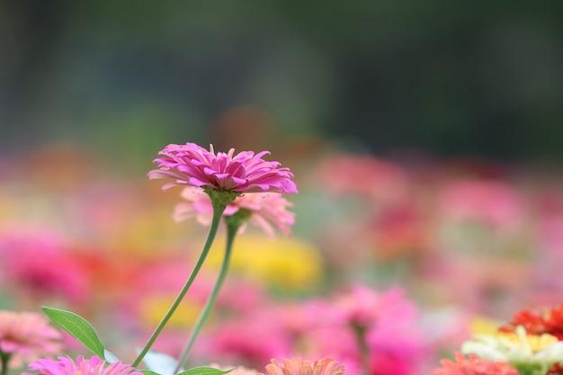Beleza de zinnia elegans rosa no fundo da natureza suave e brilhante no verão