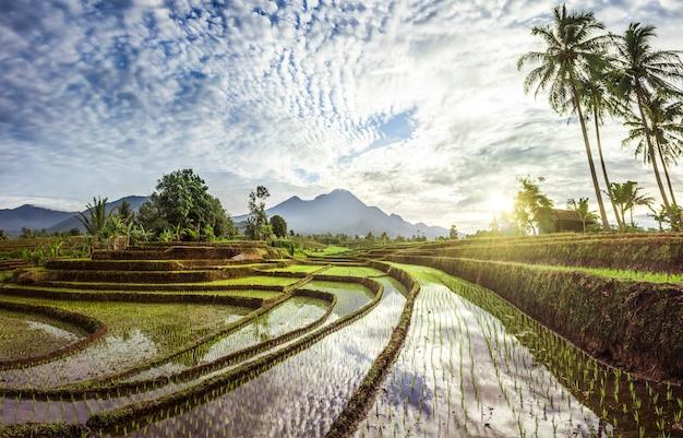 Beleza matinal nos terraços de arroz da estação de cultivo com montanhas azuis e sol quente da manhã na indonésia