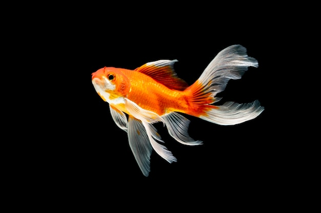 Beleza peixe nadando debaixo d'água em fundo preto