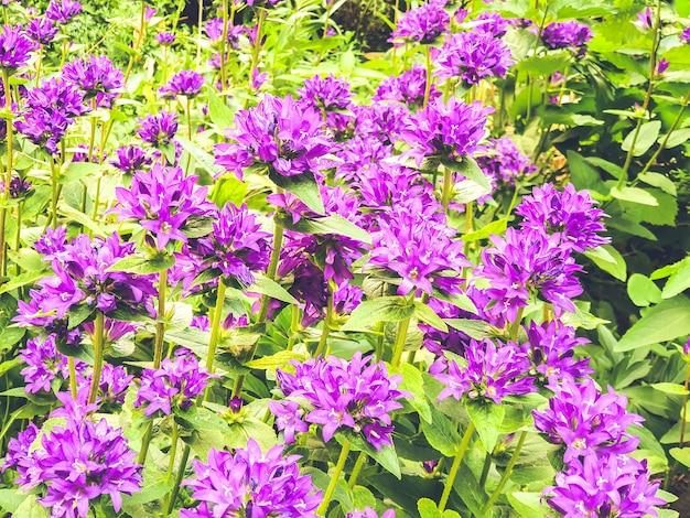 Bellflowers crescentes
