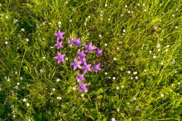Bellflowers roxos entre starworts em um prado em um dia ensolarado, vista superior