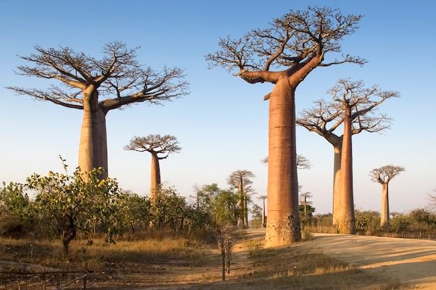 Belo baobab de madagascar. madagáscar. áfrica