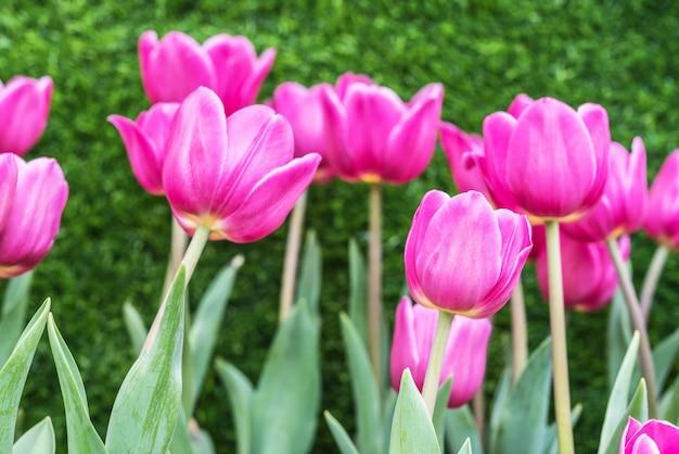Belo buquê de tulipas