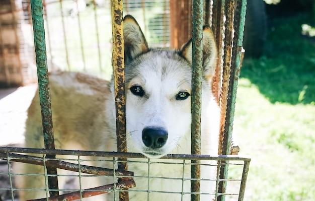 Belo cachorro grande está sentado na gaiola na aldeia. abrigo para animais de estimação desabrigados.