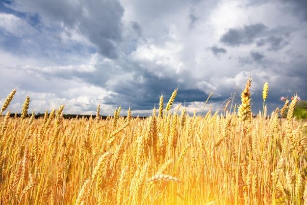 Belo campo com espigas de trigo maduro de cor dourada contra um fundo de céu azul com nuvens.