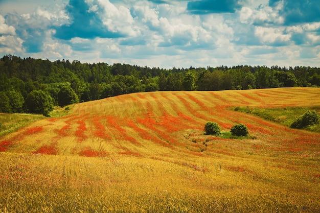 Belo campo com papoilas vermelhas florescendo. agricultura orgânica na lituânia.