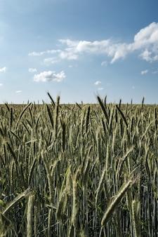 Belo campo de centeio alto com lindo céu nublado