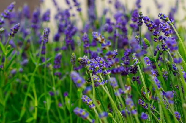Belo campo de flores de lavanda perto da minha casa, onde você pode caminhar e desfrutar do seu cheiro agradável