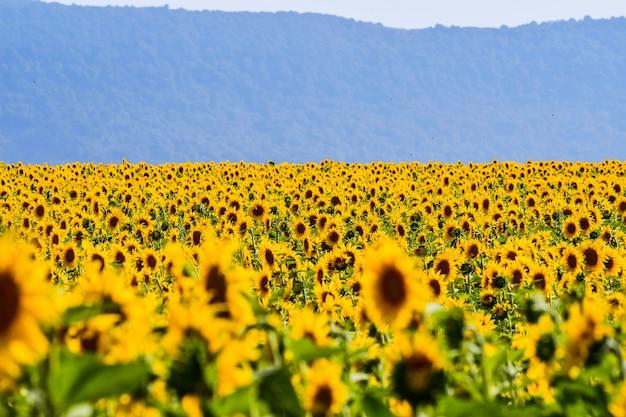 Belo campo de girassóis em um dia ensolarado. álava, país basco, espanha