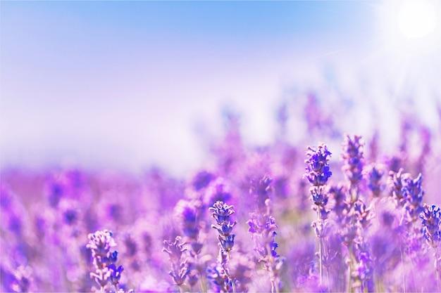 Belo campo de lavanda violeta
