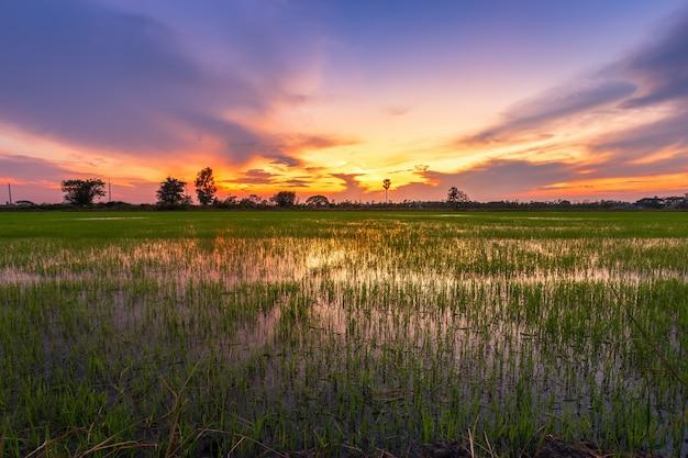 Belo campo de milho verde com céu pôr do sol