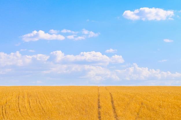 Belo campo de trigo dourado