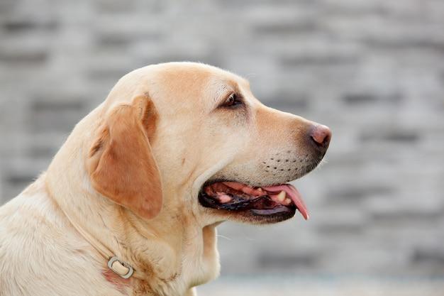 Belo cão de labrador dourado ao ar livre