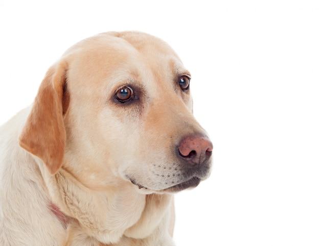 Belo cão labrador dourado
