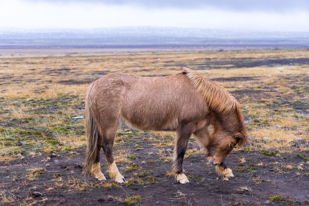 Belo cavalo islandês na islândia