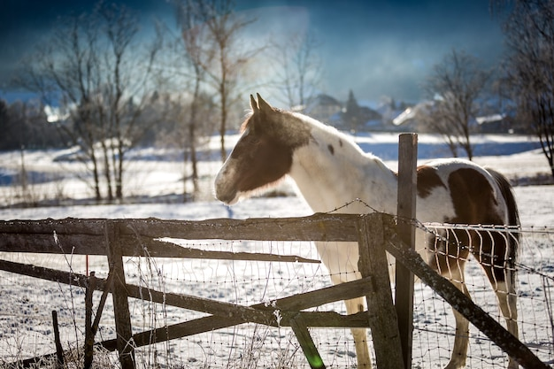 Belo cavalo solitário pastando em um paddock ao ar livre no inverno