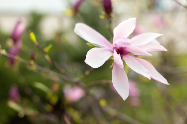 Belo close-up flores de magnólia.