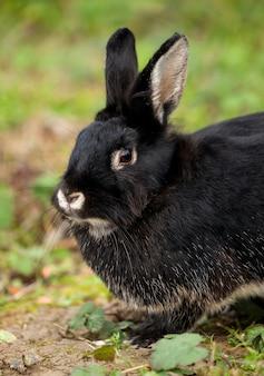 Belo coelho preto na floresta.