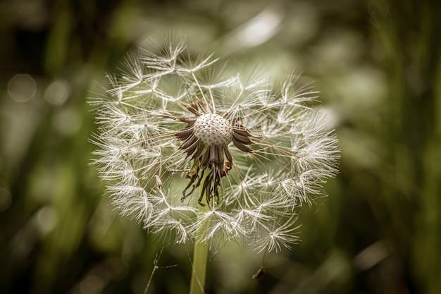Belo dente de leão pequeno no meio do campo gramado em um dia ensolarado