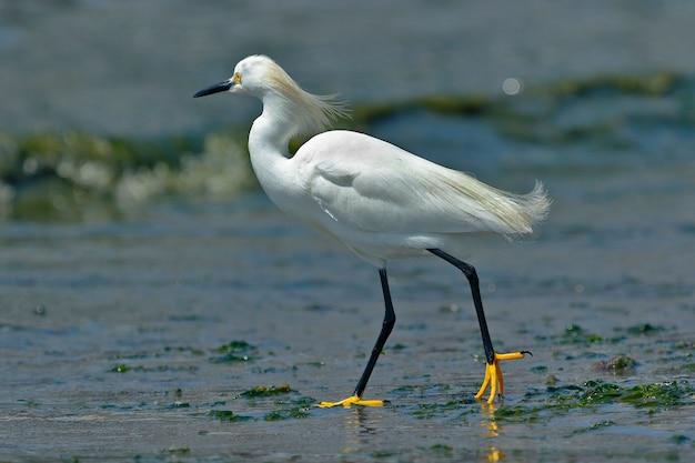 Belo espécime de garça branca caminhando na praia