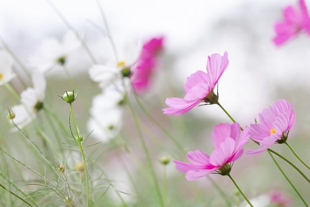 Belo foco seletivo suave rosa e branco cosmos campo de flores