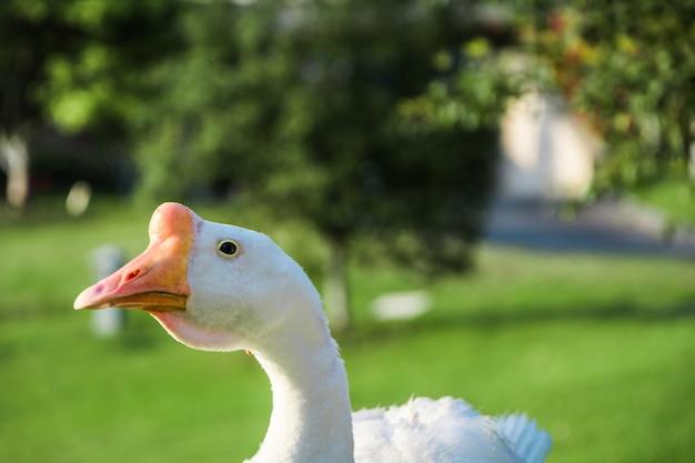 Belo ganso branco