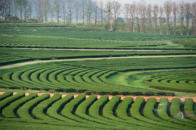 Belo jardim de chá verde paisagem