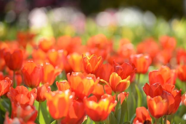 Belo jardim tulipa vermelha no nascer do sol da manhã