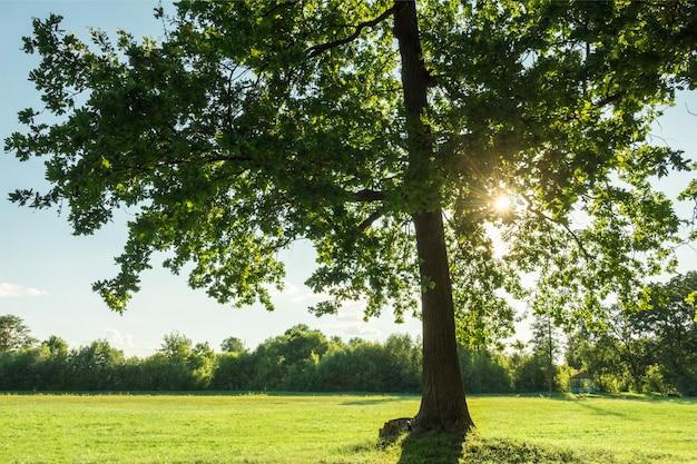 Belo jovem carvalho com sol nos ramos